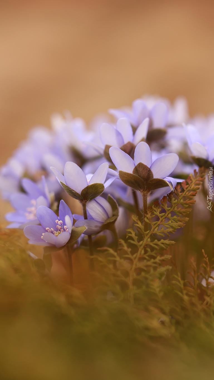 Kepka liliowych przylaszczek