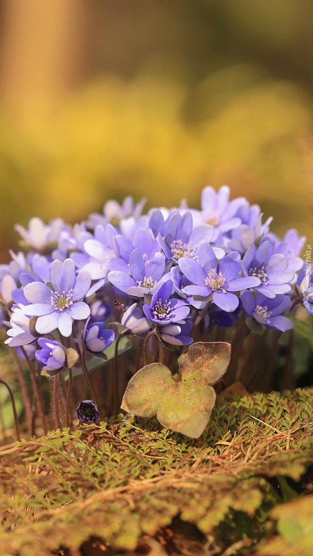 Kępka liliowych przylaszczek