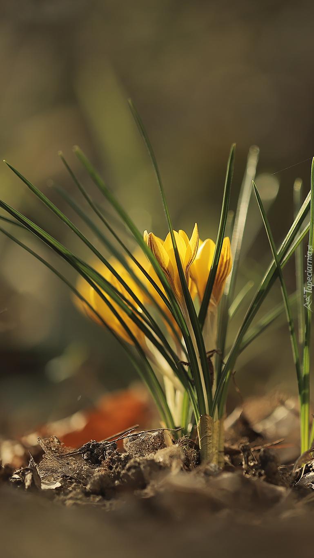 Kępka żółtych krokusów