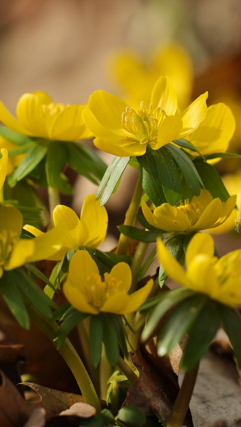 Kępka żółtych kwiatów rannika
