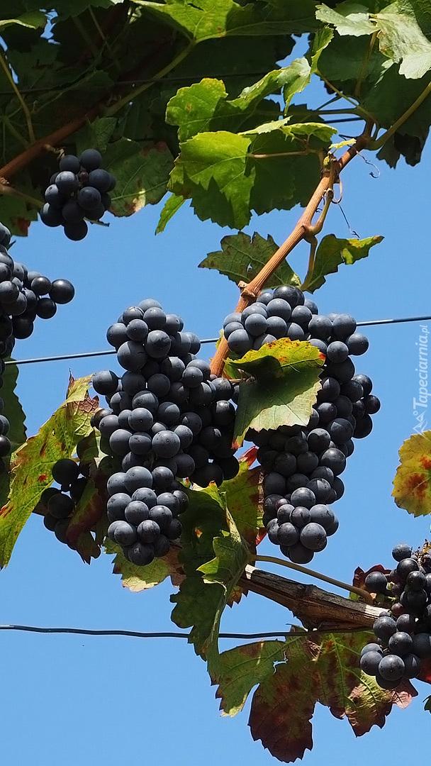 Kiście ciemnych winogron