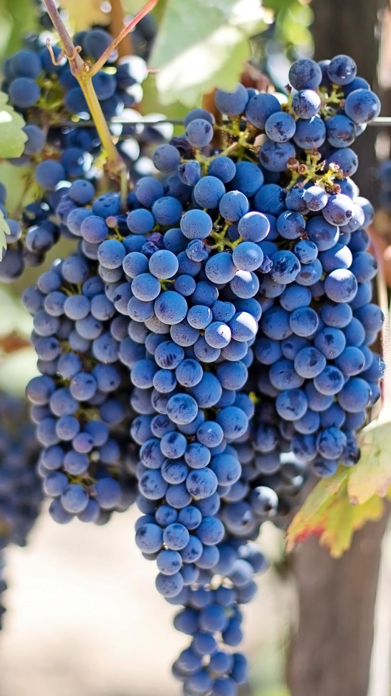 Kiście winogron