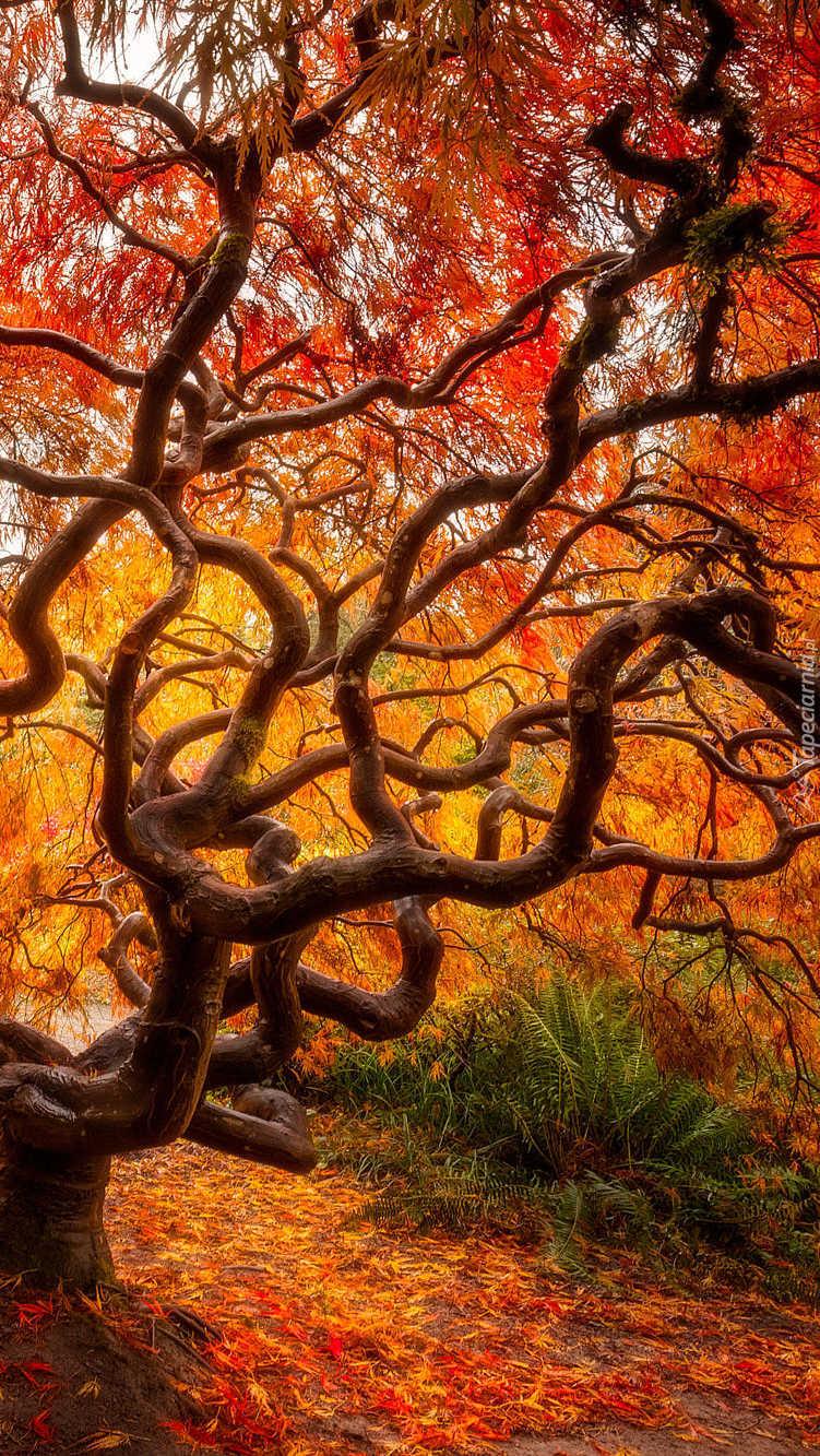 Klon japoński z jesiennymi liśćmi
