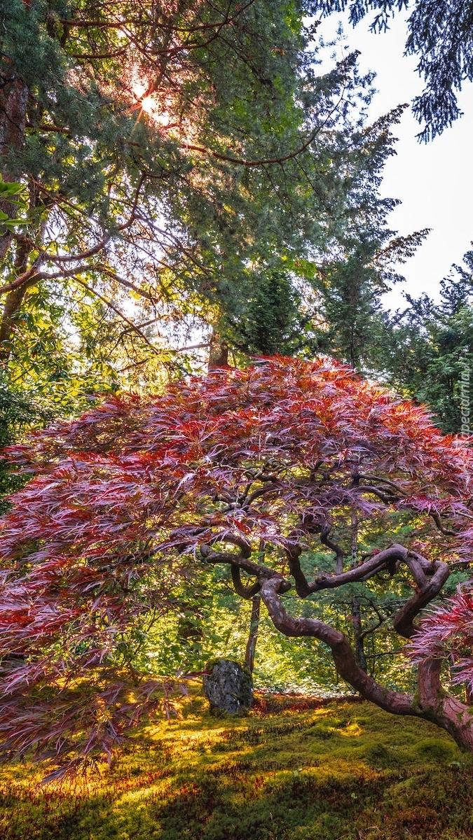Klon palmowy w ogrodzie Portland Japanese