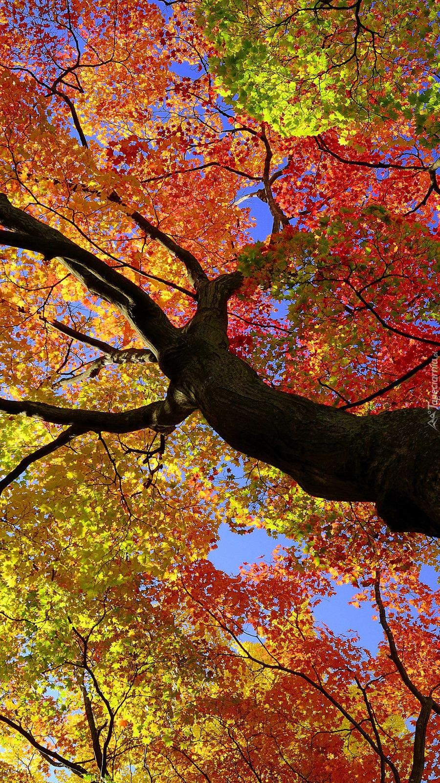 Klon z kolorowymi liśćmi
