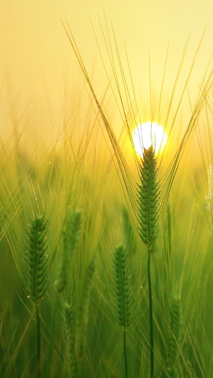 Kłosy w słońcu