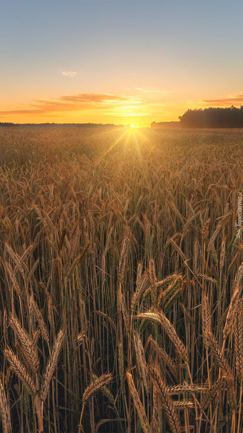 Kłosy zboża rozświetlone słońcem
