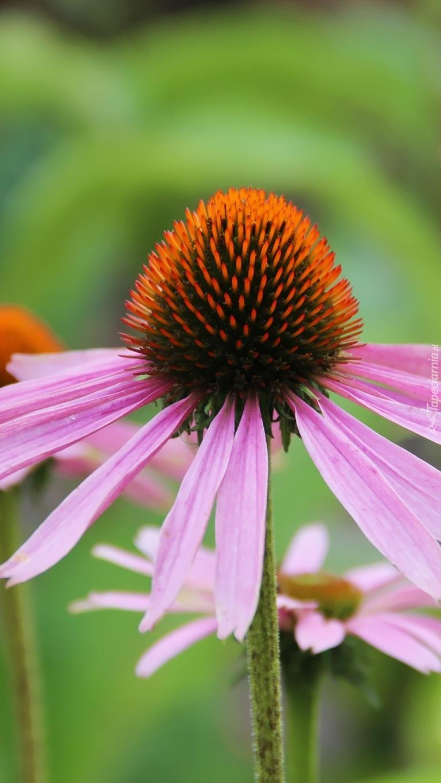 Kłujący kwiatek