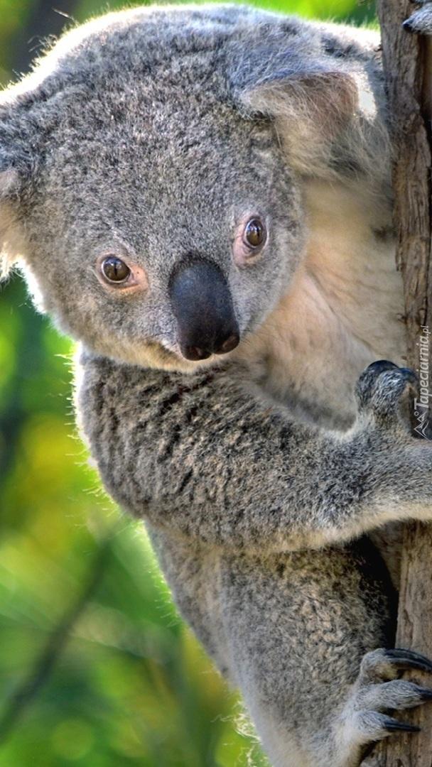 Koala wspinający się po drzewie