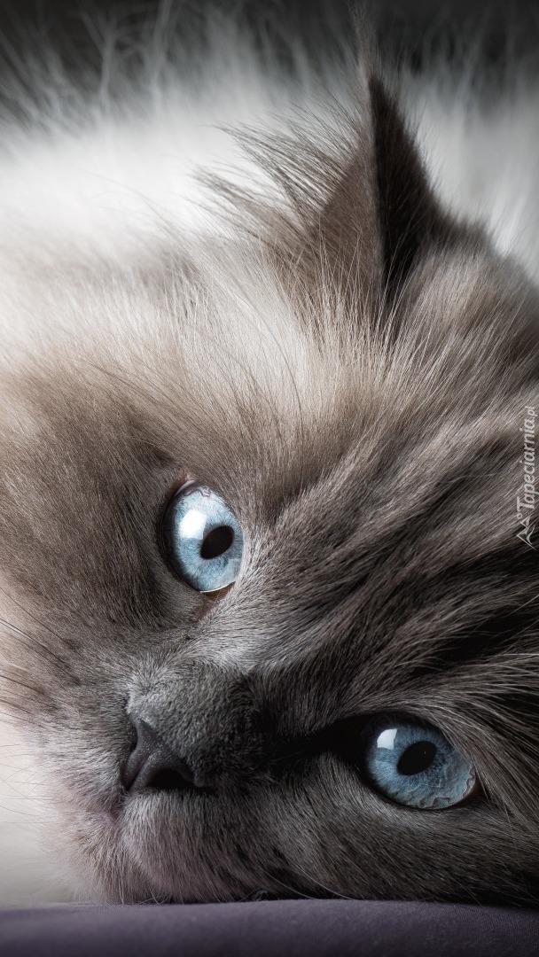 Kociak o niebieskich oczętach