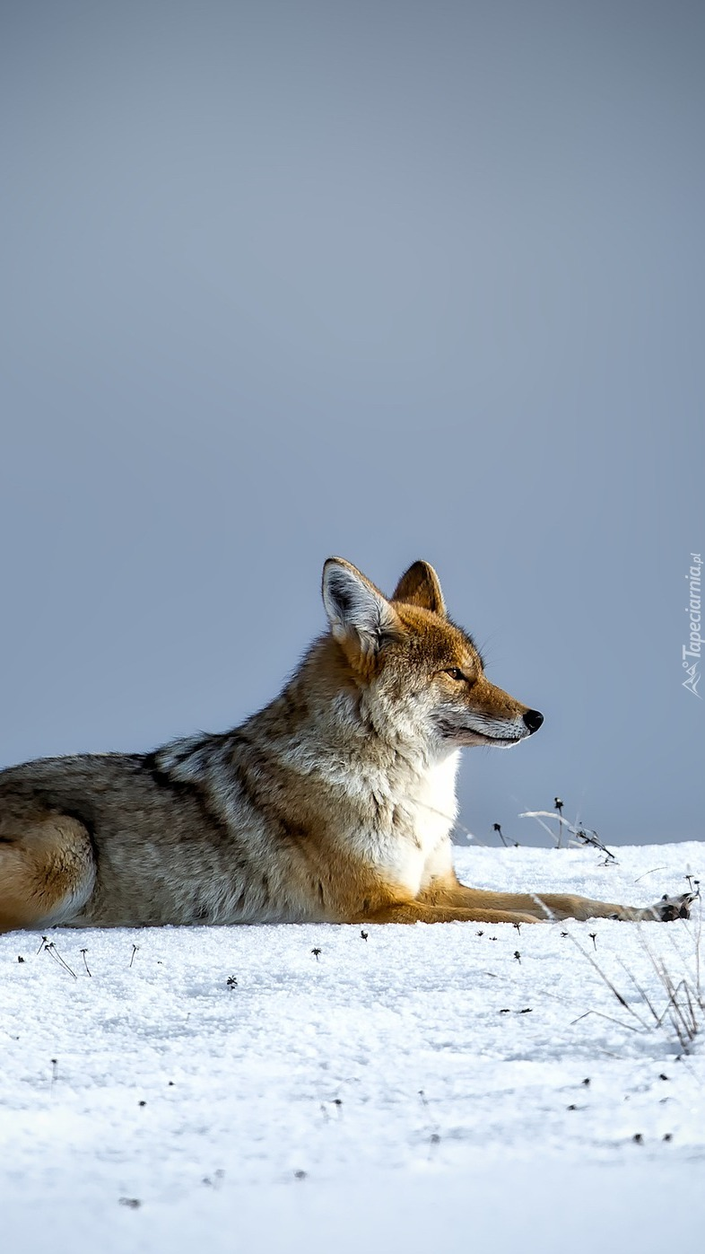 Kojot na śniegu