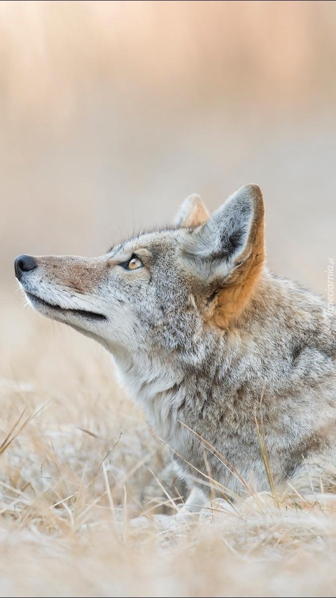 Kojot na trawie