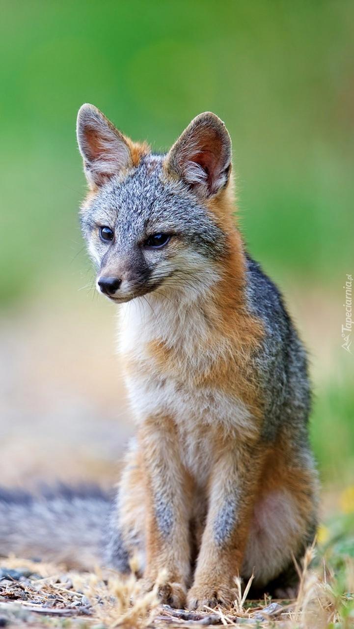 Kojot wypatrujący swojej zdobyczy