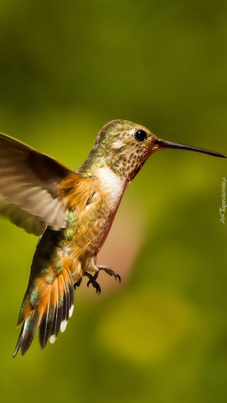 Koliber z długim dziobem