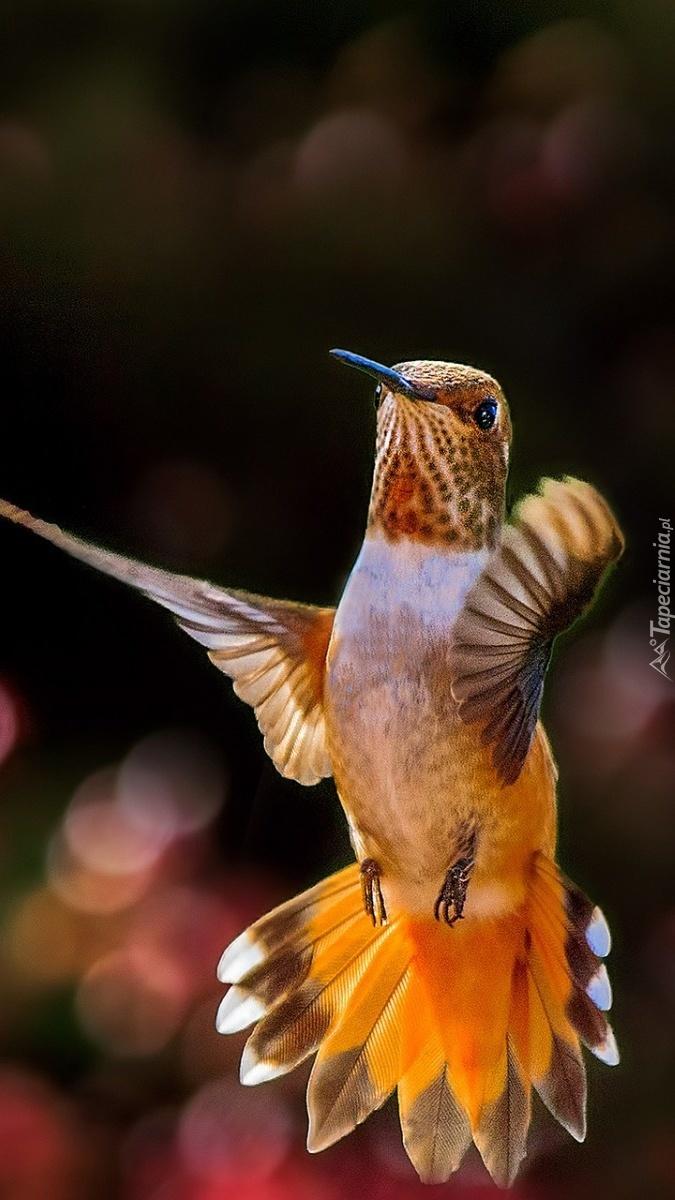 Koliberek w locie
