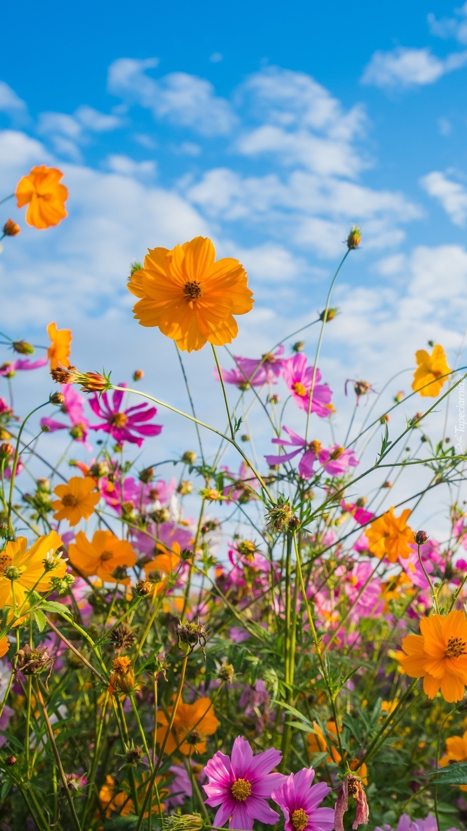 Kolorowe kwiaty kosmei na łące