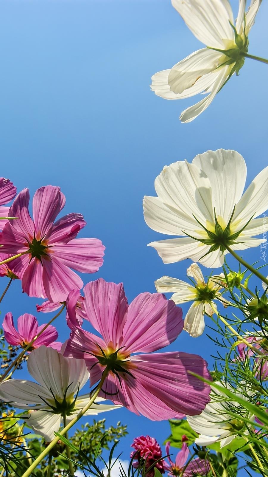 Kolorowe kwiaty kosmei