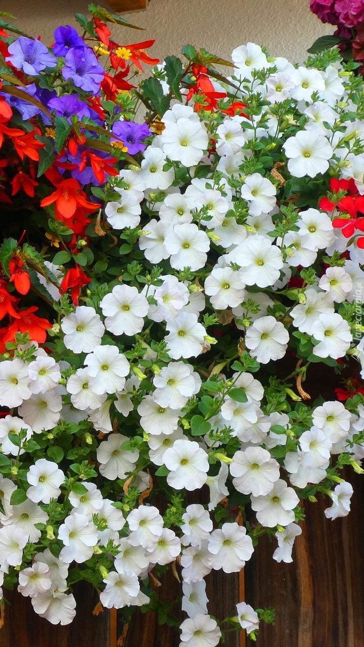 Kolorowe kwiaty petunii