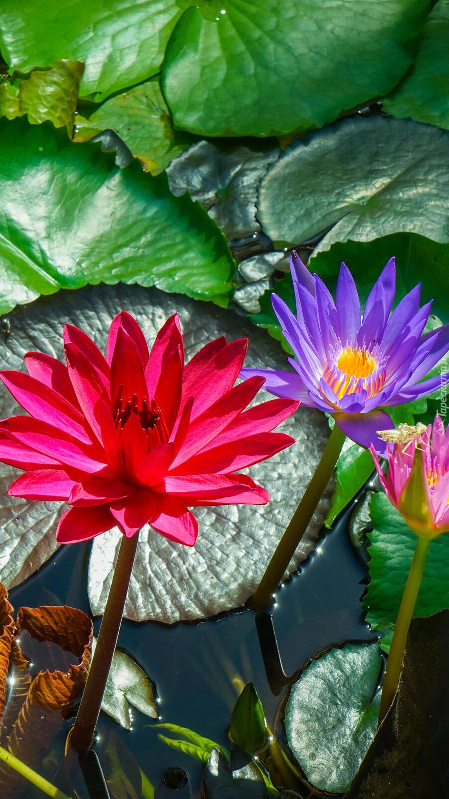 Kolorowe lilie wodne