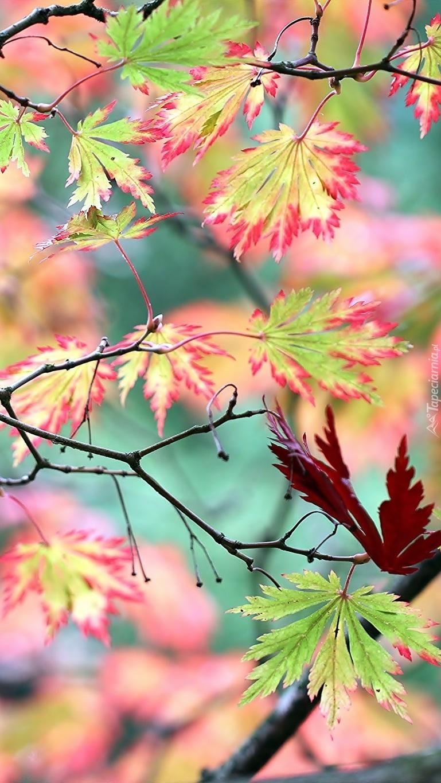 Kolorowe liście klonu palmowego