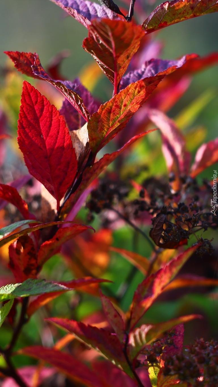 Kolorowe liście tawuły japońskiej