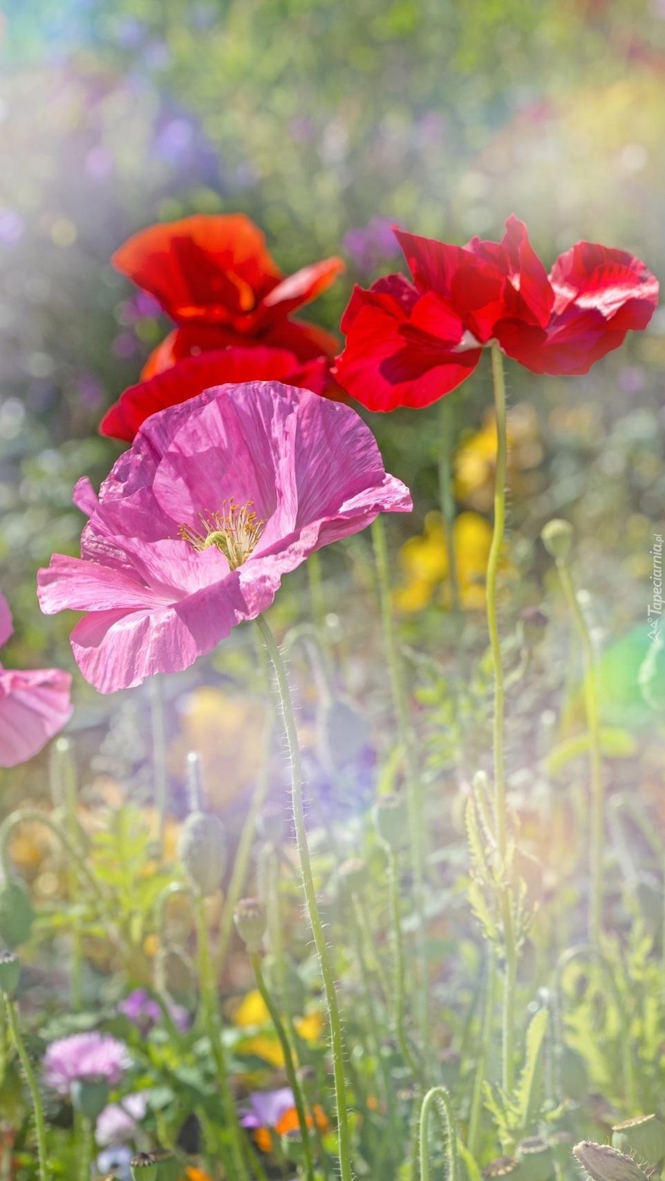 Kolorowe maki na rozmytym tle