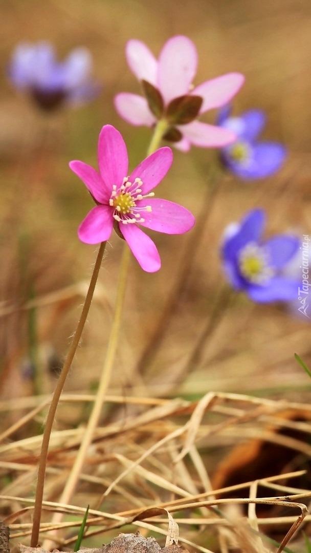 Kolorowe przylaszczki w trawie