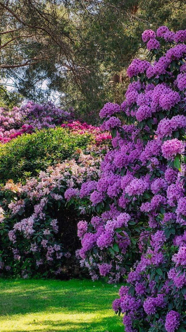 Kolorowe różaneczniki
