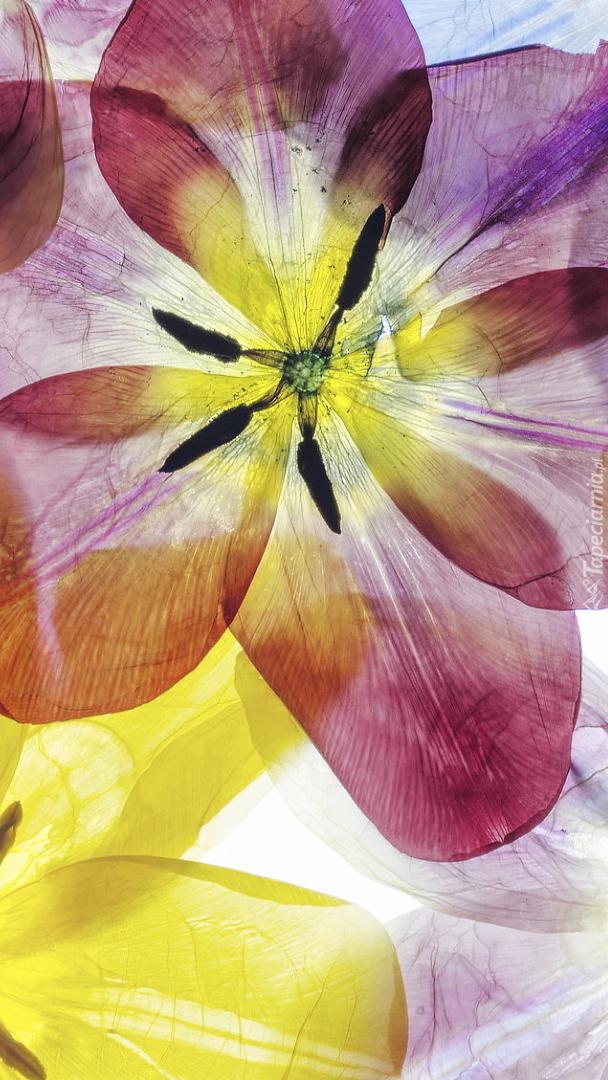 Kolorowe rozwinięte tulipany