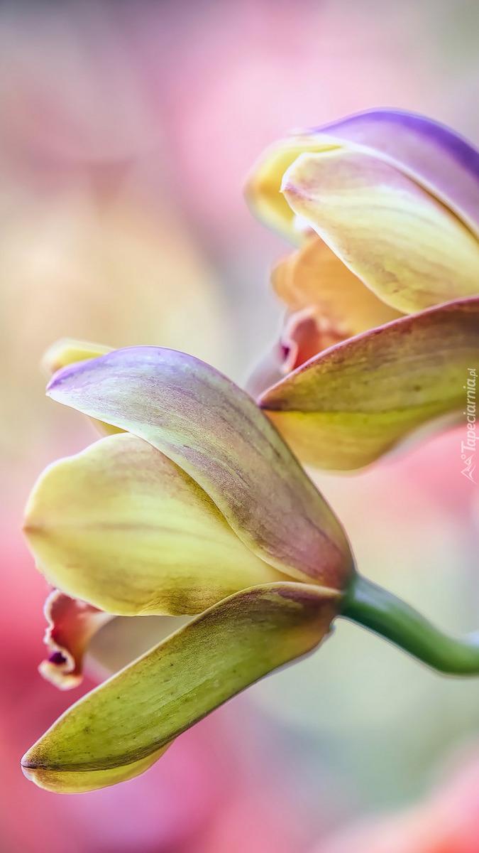 Kolorowe storczyki