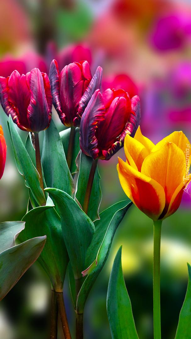 Kolorowe tulipany w 2D