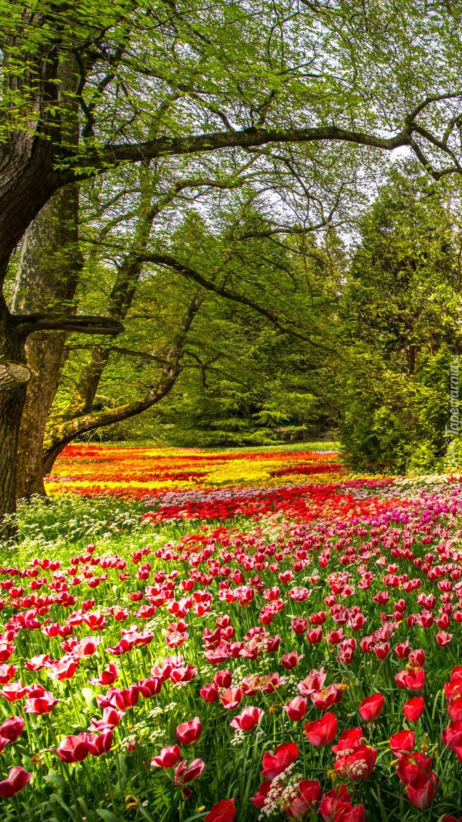 Kolorowe tulipany w parku