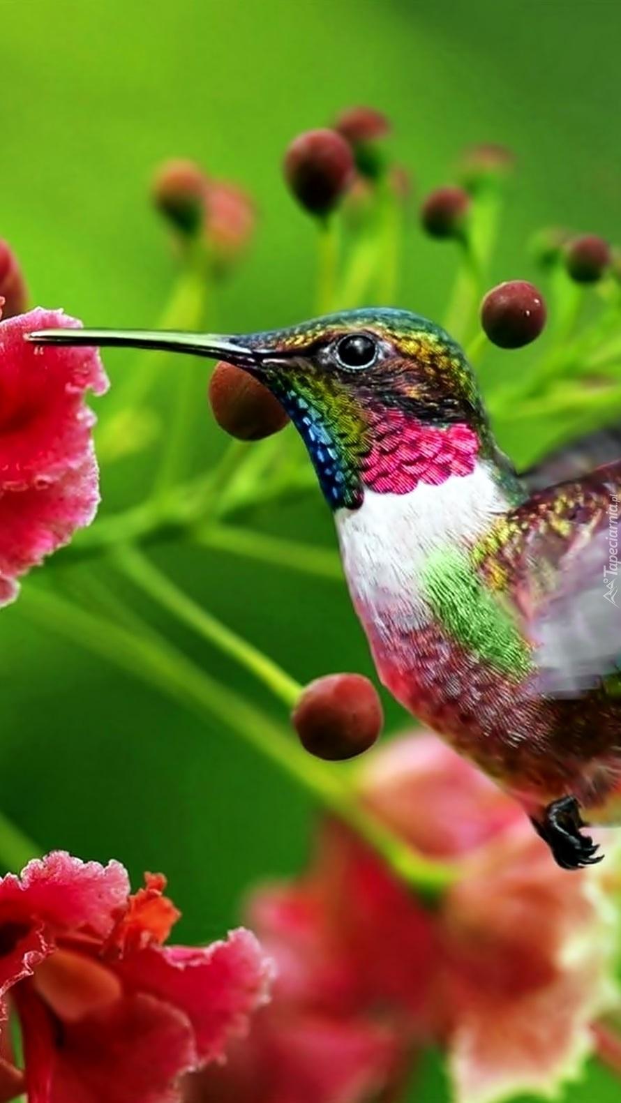 Kolorowy koliber przy czerwonym kwiatku
