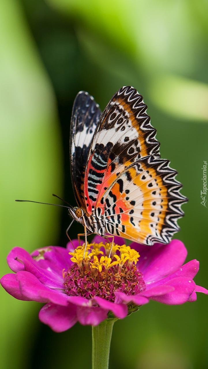 Kolorowy motyl na cynii
