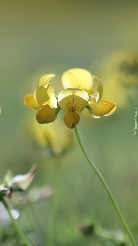 Komonica zwyczajna żółta