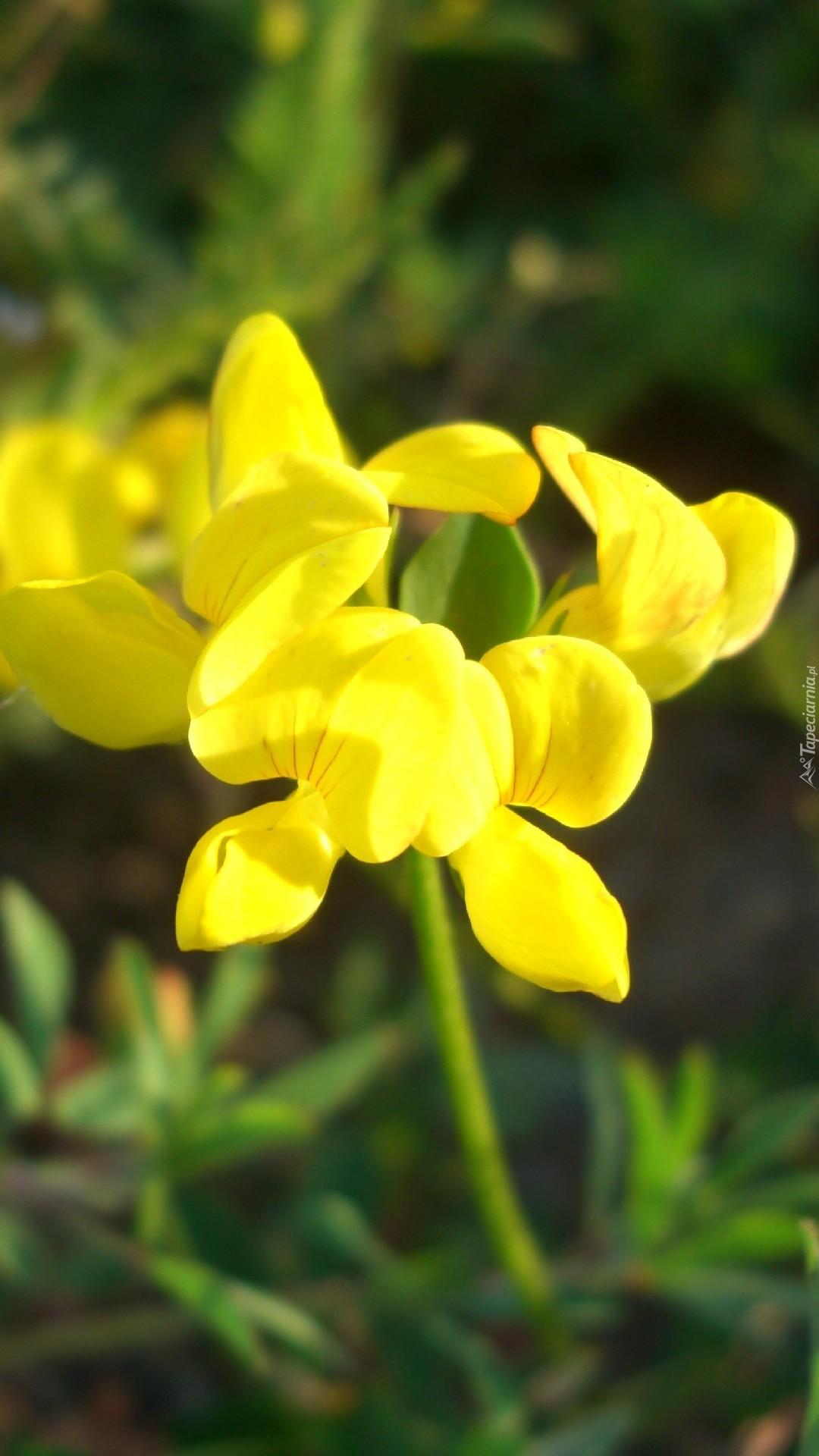 Komornica zwyczajna żółta