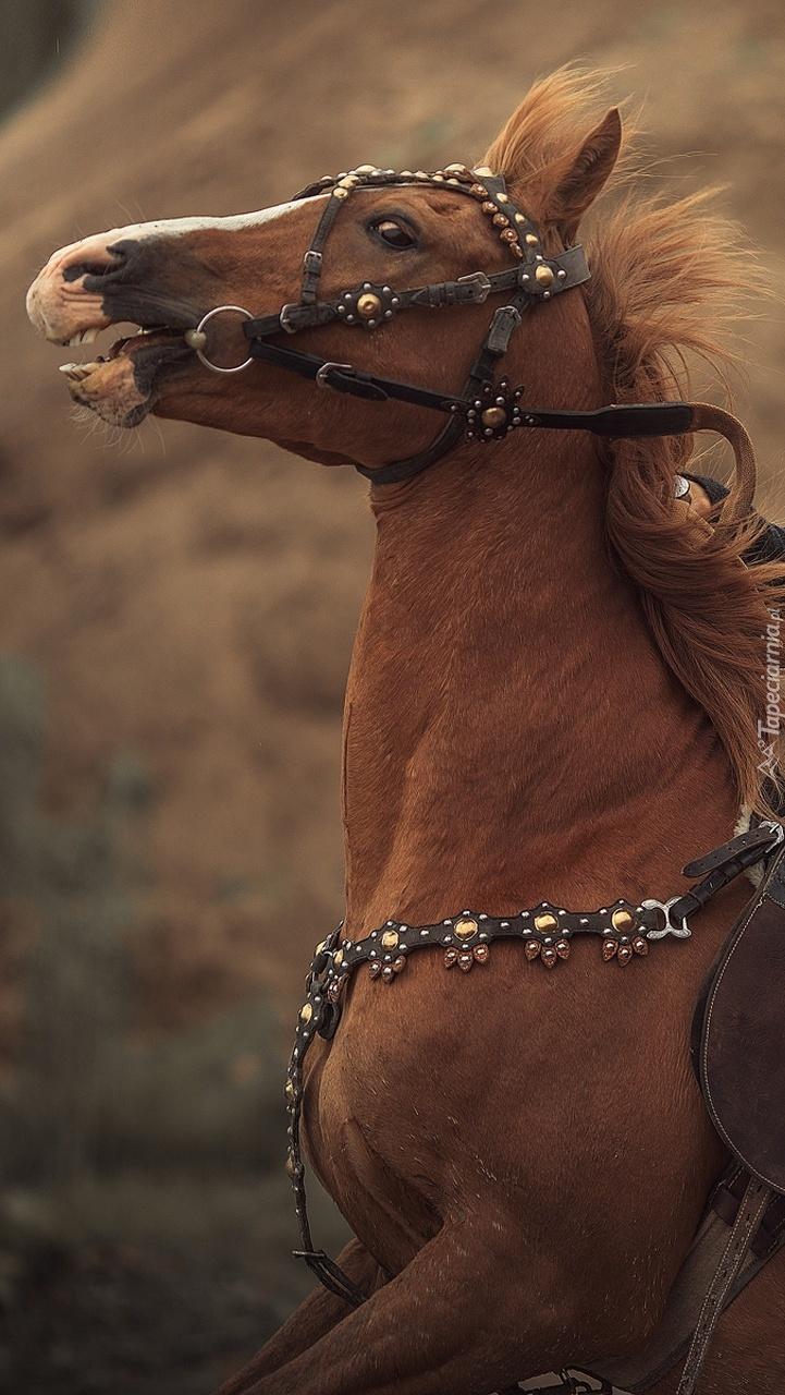 Koń maści kasztanowatej