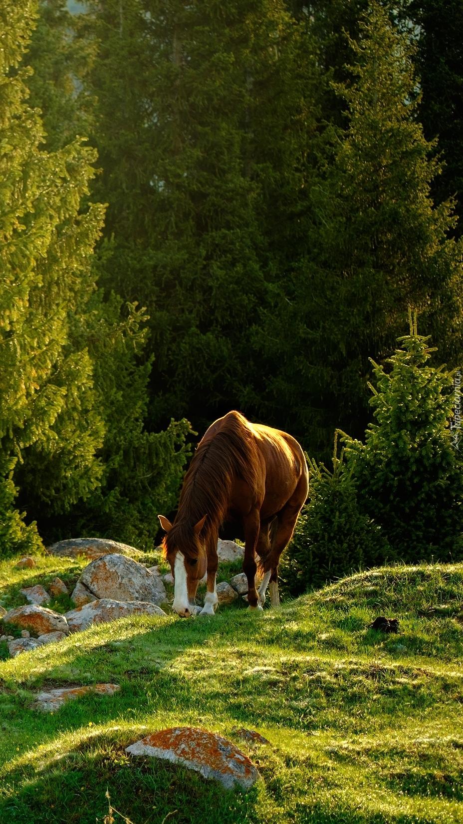 Koń na pastwisku pod lasem