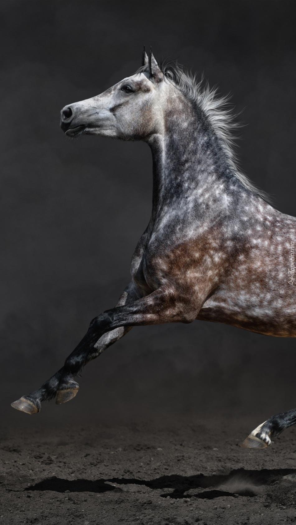 Koń o maści jabłkowitej