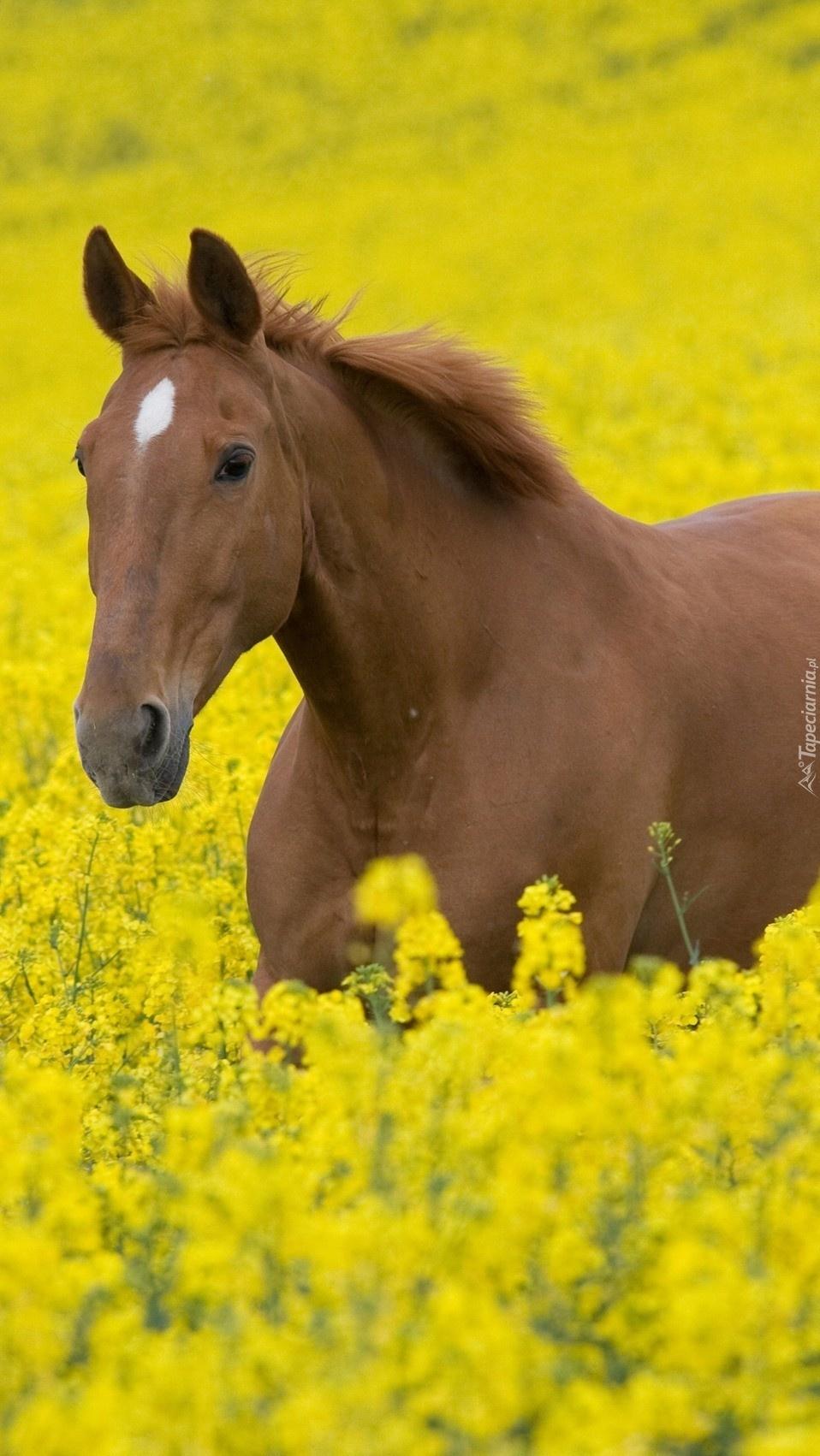 Koń w rzepaku