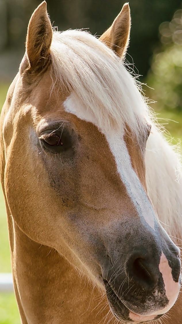 Koń z jasną grzywą
