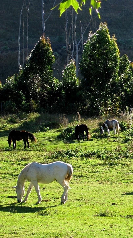 Konie na łące pod lasem