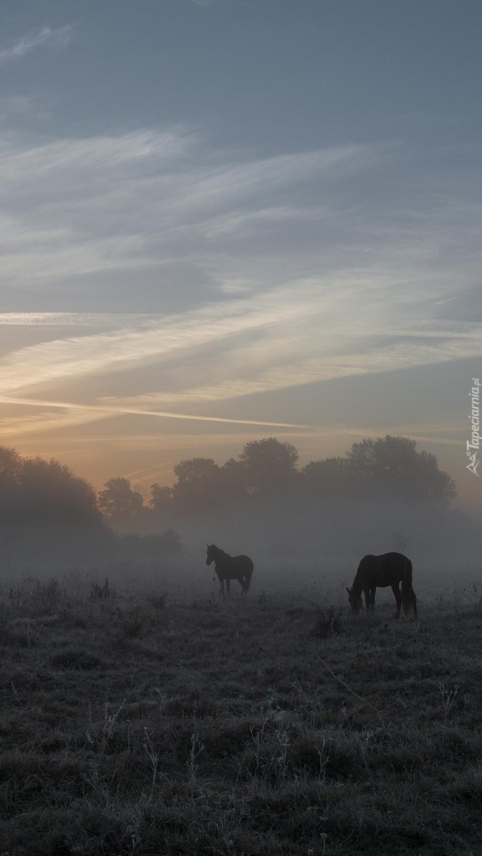 Konie na zamglonej łące