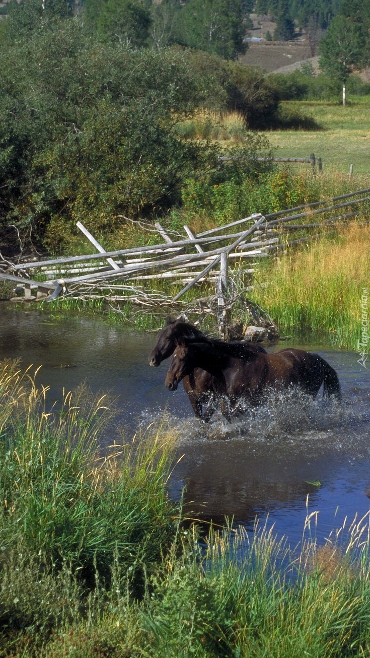 Konie w rzece