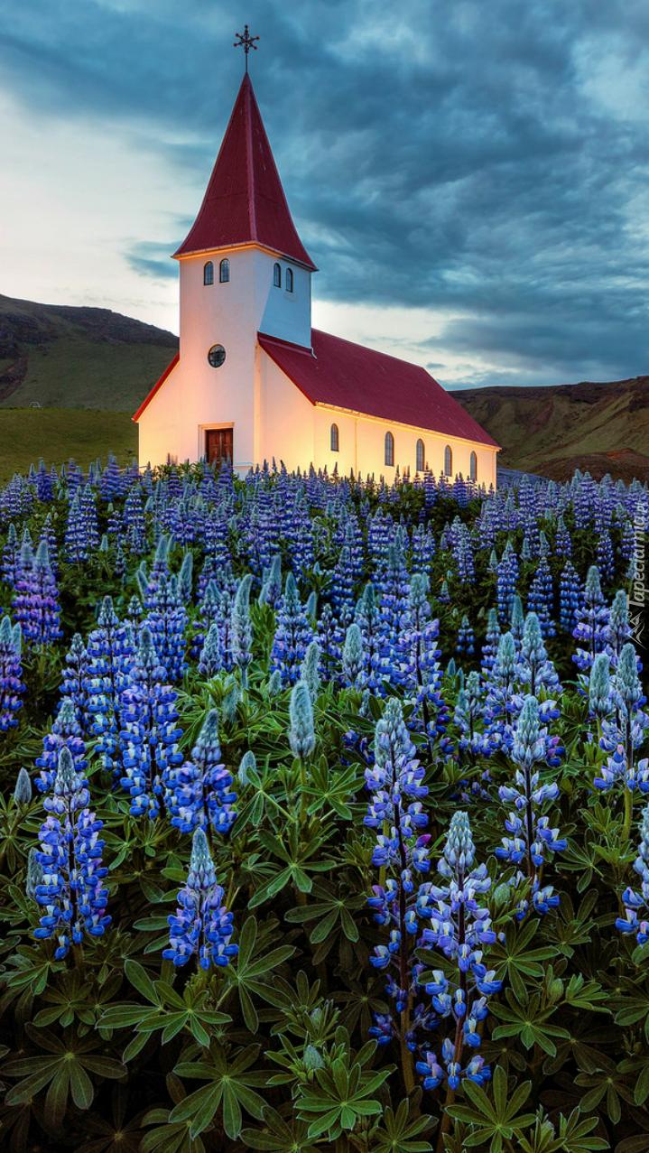 Kościół otoczony niebieskim łubinem
