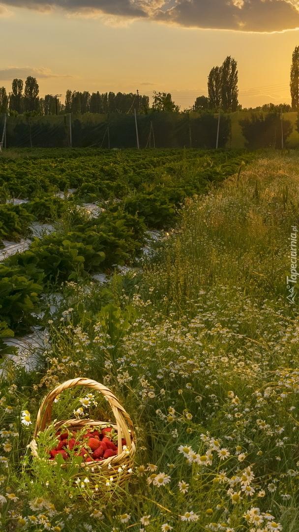Kosz truskawek wśród rumianku