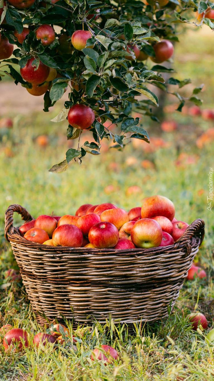Kosz z jabłkami pod jabłonią