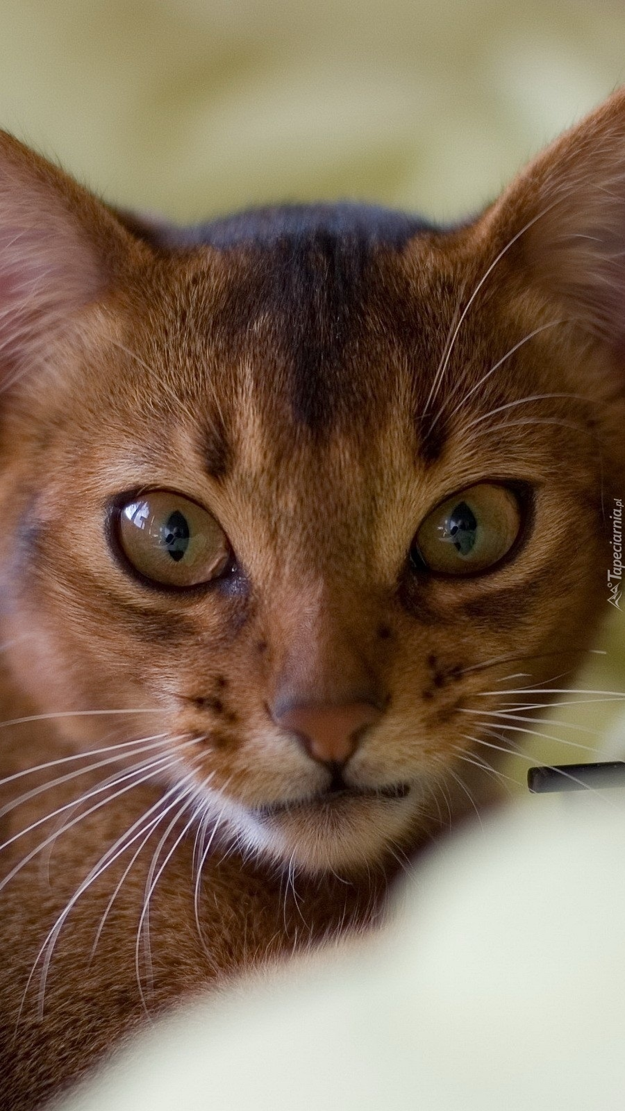 Kot abisyński
