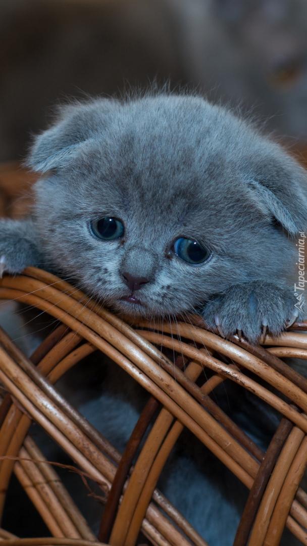 Kot brytyjski krótkowłosy niebieski