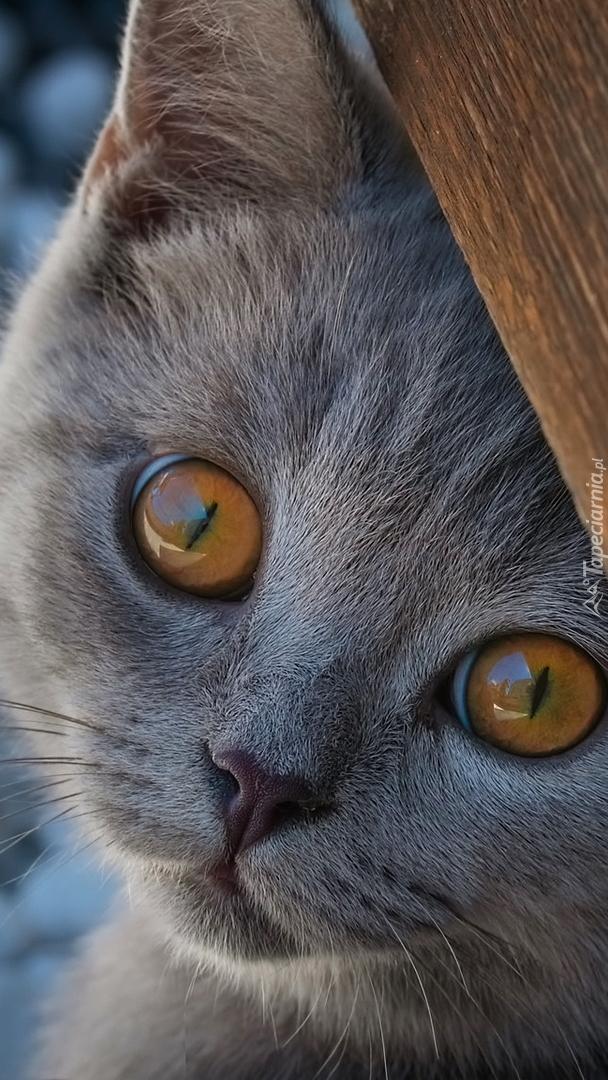 Kot brytyjski krótkowłosy patrzący zza deski